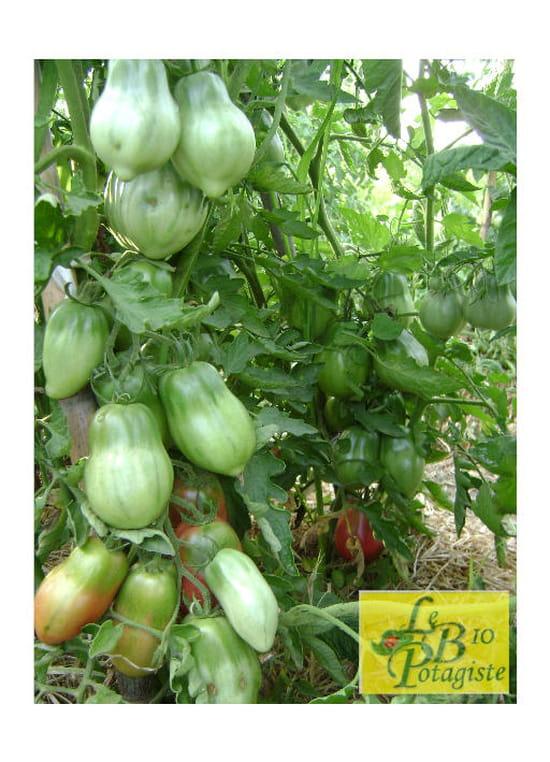 quand faut il couper les plants de tomates r solu. Black Bedroom Furniture Sets. Home Design Ideas