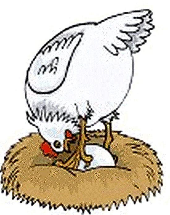 Que faire quand mes poules mangent leurs oeufs r solu - Image d une poule ...