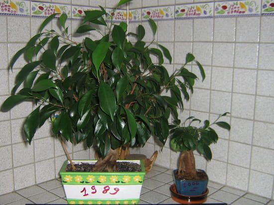 Comment bien s 39 occuper d 39 un ficus ginseng - Comment s occuper d un bonsai ...