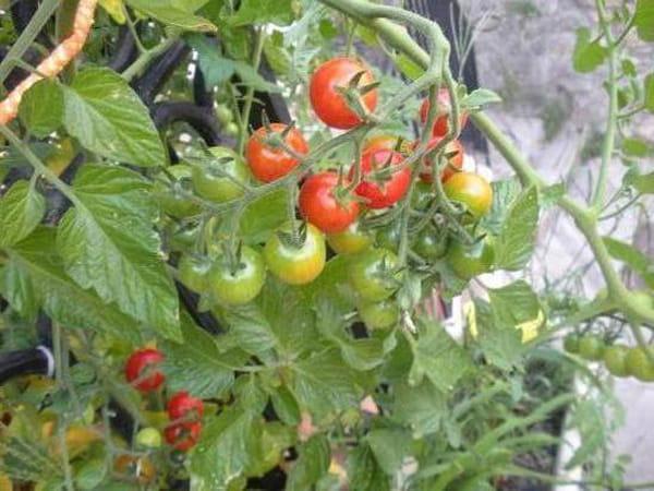 C est le printemps vos jardini res de balcon vos - Quand planter les tomates cerises ...